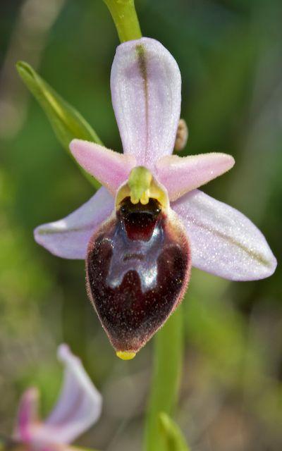 HERAKLEIA : un paradis pour orchidophiles Ophrys20