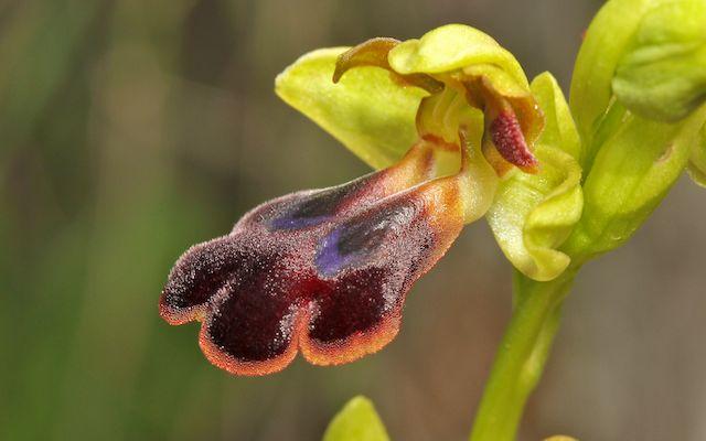 HERAKLEIA : un paradis pour orchidophiles Ophrys32