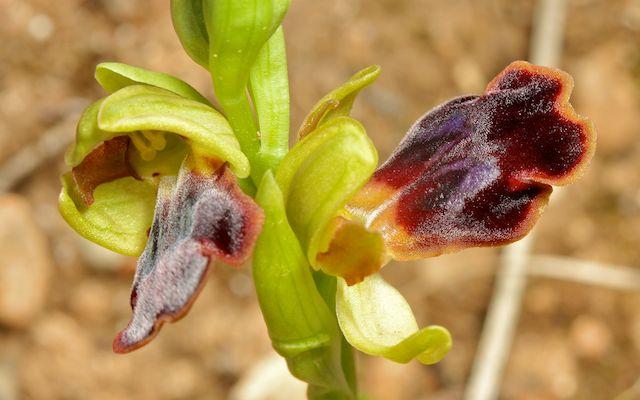 HERAKLEIA : un paradis pour orchidophiles Ophrys33