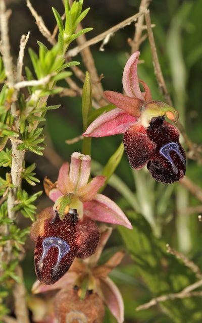 PAROS  Ophrys47