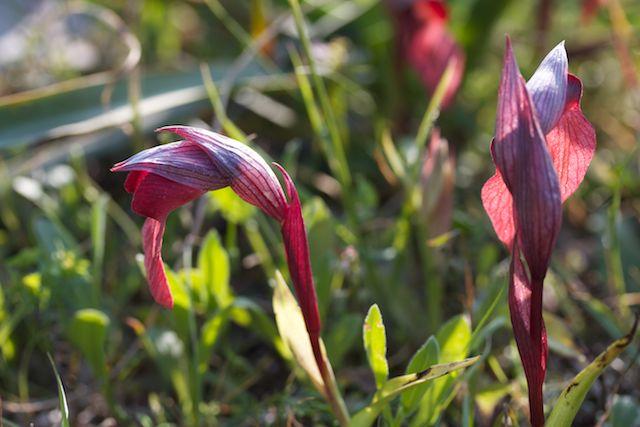HERAKLEIA : un paradis pour orchidophiles Serapi18
