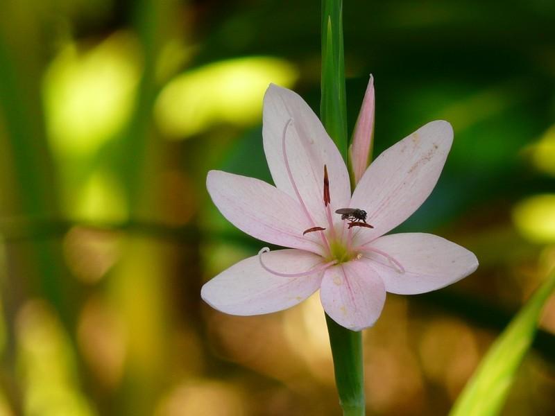 fleur de marais + maj 16-9 Fleur_14