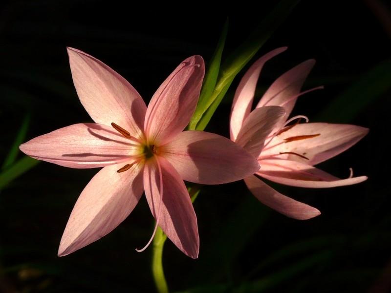 fleur de marais + maj 16-9 Fleur_15