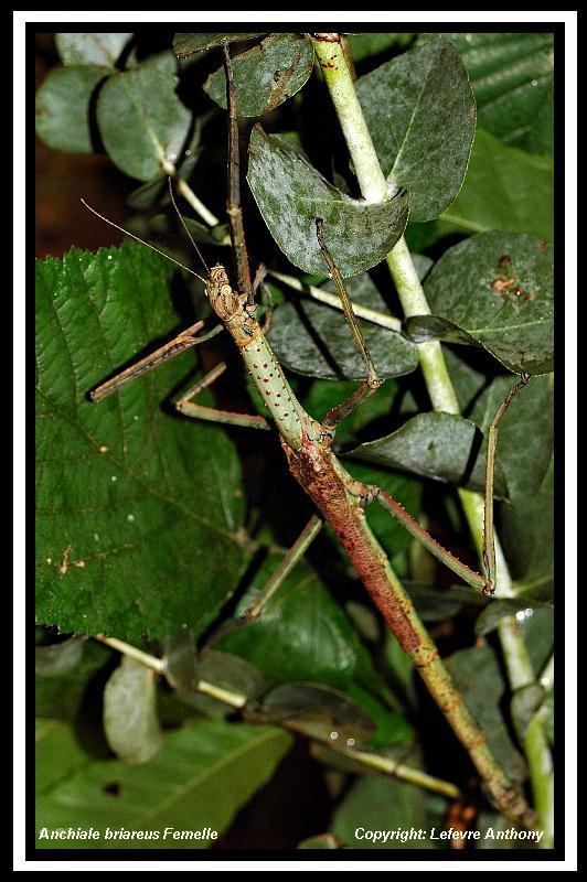 Anchiale briareus (PSG 15) Anchia10