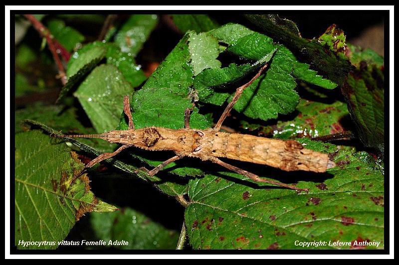 Hypocyrtus scythrus (PSG 297) Hypocy15