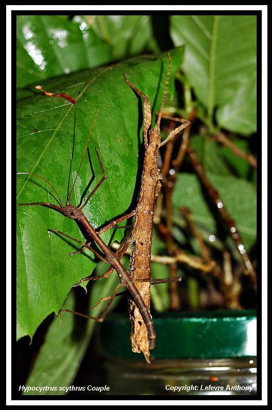 Hypocyrtus ornatissimus  (P.S.G n°307) Hypocy20