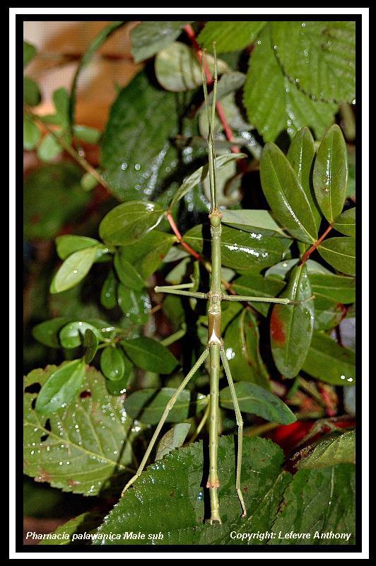 Pharnacia palawanica (PSG ?) Pharna11