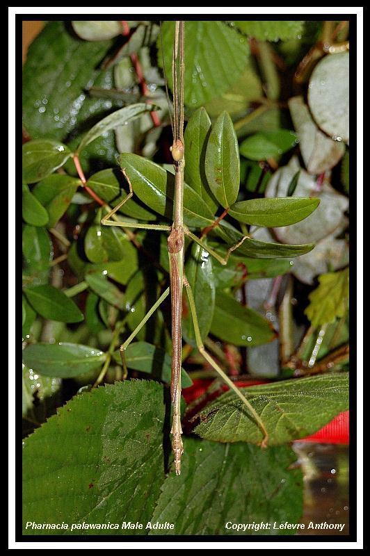 Pharnacia palawanica (PSG ?) Pharna12