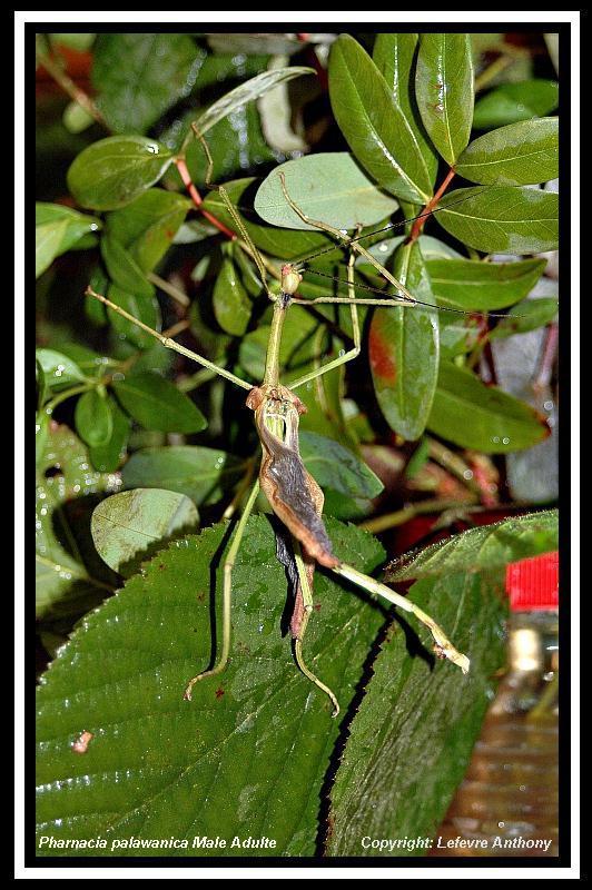 Pharnacia palawanica (PSG ?) Pharna13