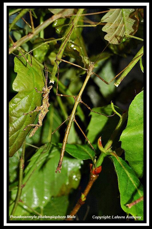 Pseudosermyle phalangiophora (PSG 237) Pseudo14