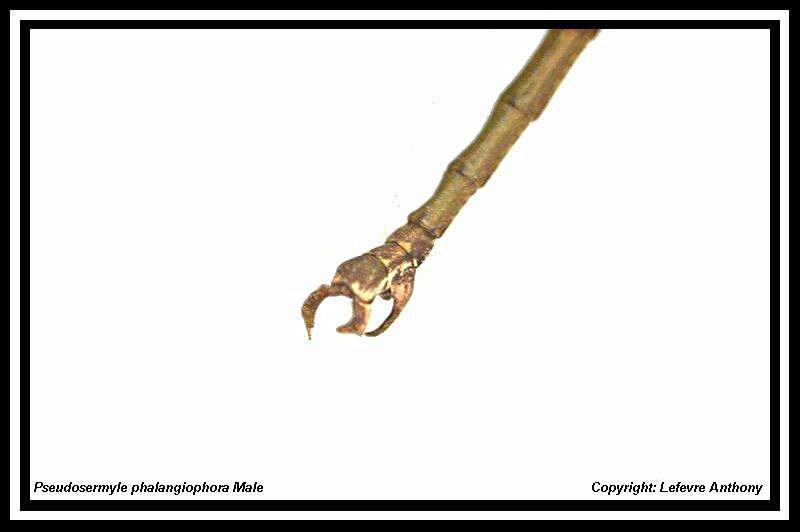 Pseudosermyle phalangiophora (PSG 237) Pseudo15