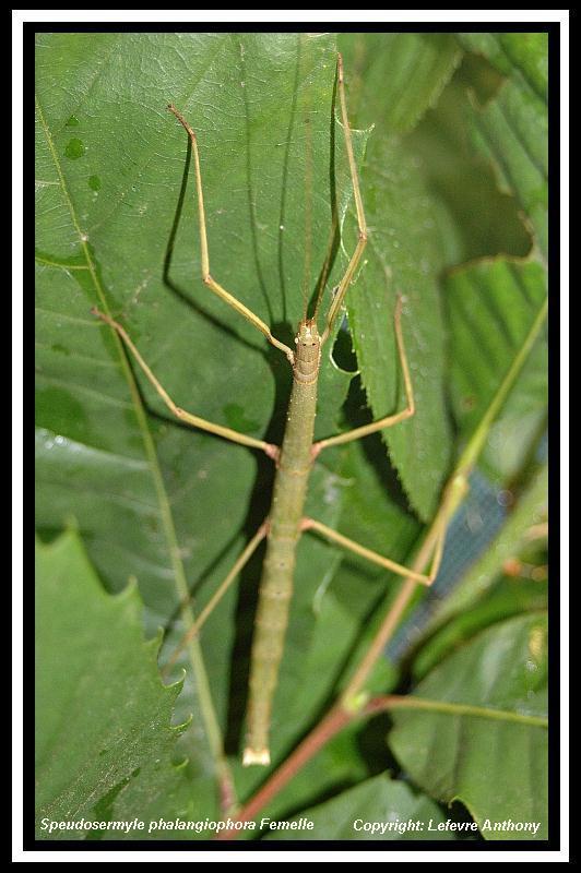Pseudosermyle phalangiophora (PSG 237) Speudo10