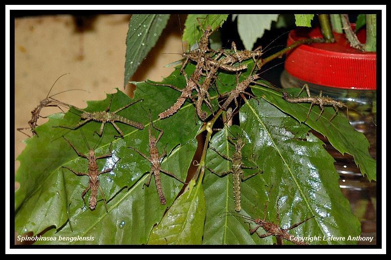 Spinohirasea bengalensis  (psg 272) Spinoh11