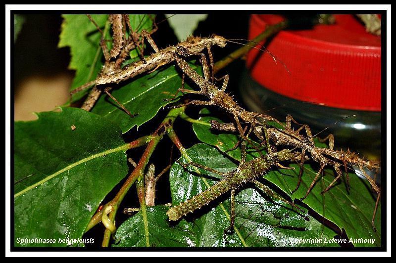 Spinohirasea bengalensis  (psg 272) Spinoh12