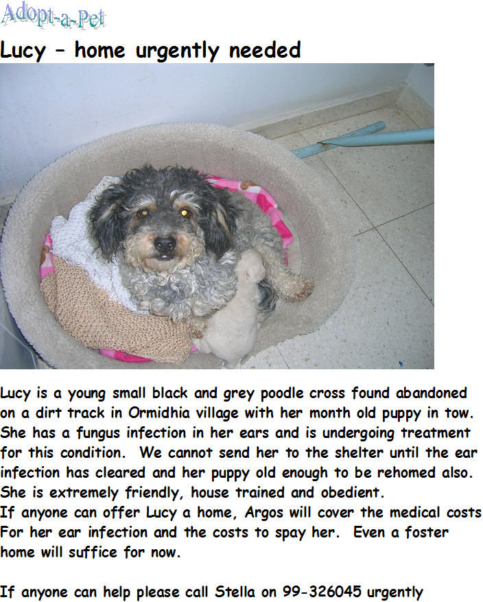 Poodle Mum needs home or fostering Lucy10