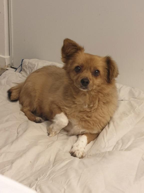 ELLA - Femelle croisée Pékinois de petite taille (10 kg) - née en juillet 2009 - adoptée par Nathalie (60)  20191132
