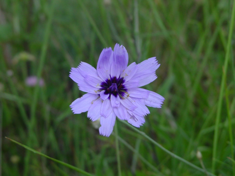 Flors a la Ruta Calders-l'Estany-Moià-Calders Cerver10