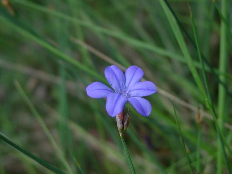 Flors a la Ruta Calders-l'Estany-Moià-Calders Jonca11