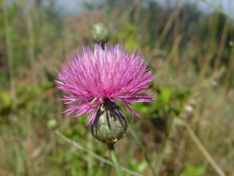 Flors a la Ruta Calders-l'Estany-Moià-Calders Raspal10