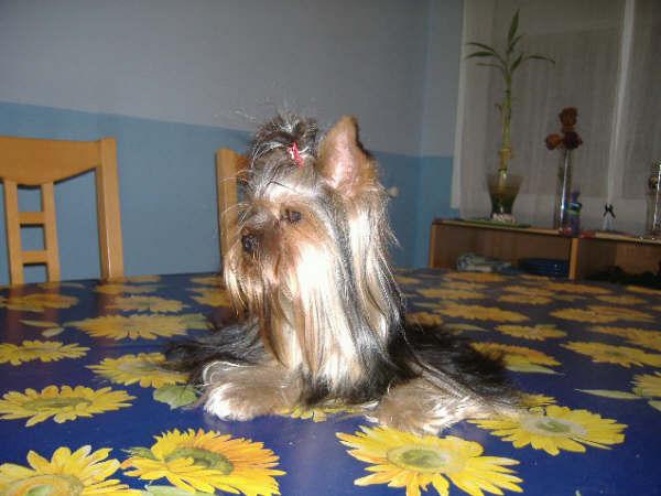 Yorkshire Terrier de Rukuba - añade tus fotos - Fotos_10