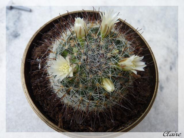 Mammillaria pubispina 1b11