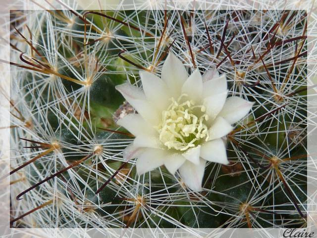 Mammillaria pubispina 1e10