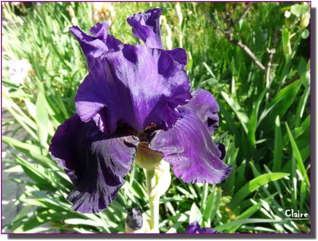 Mes iris. 332810