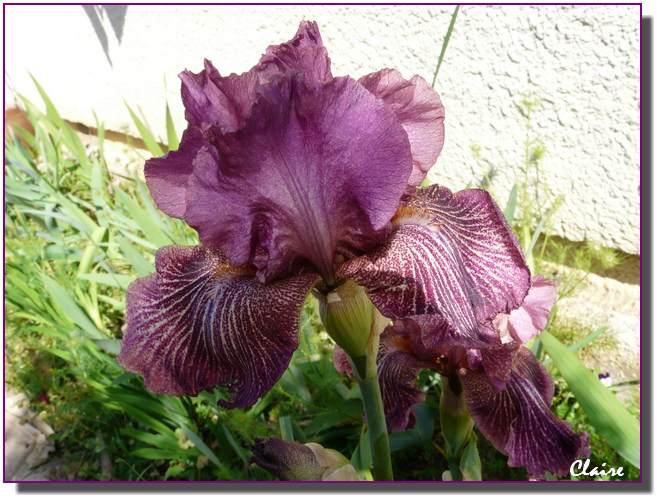 Mes iris. 338211