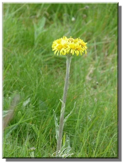 Fleur jaune,sauvage ,à identifier. Espino10