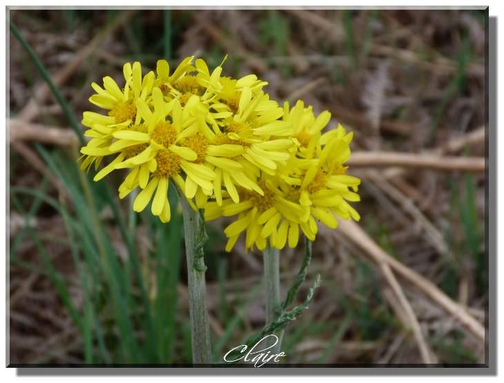Fleur jaune,sauvage ,à identifier. Espino11