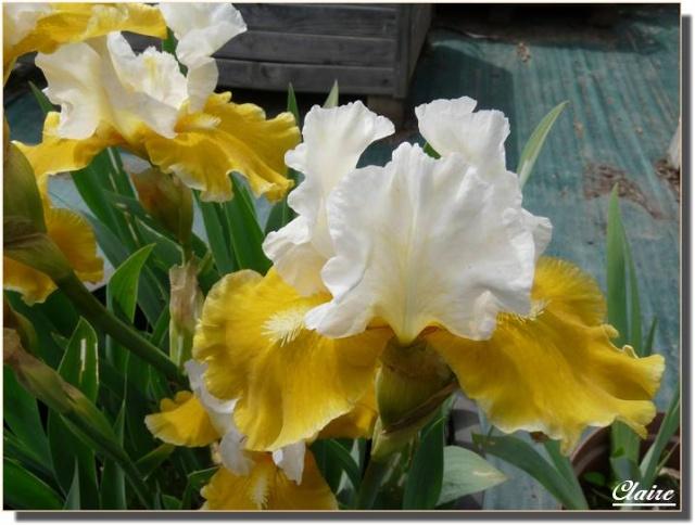 Mes iris. Iris_d10