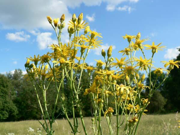 Fleur jaune,sauvage ,à identifier. P1060710
