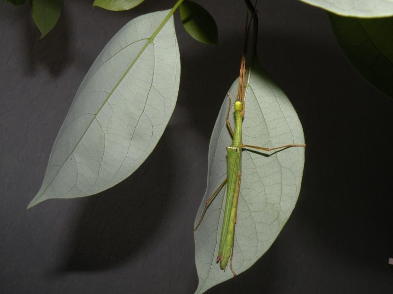 Marmessoidea rosea disponible, superbe espèce ! Dscn7210