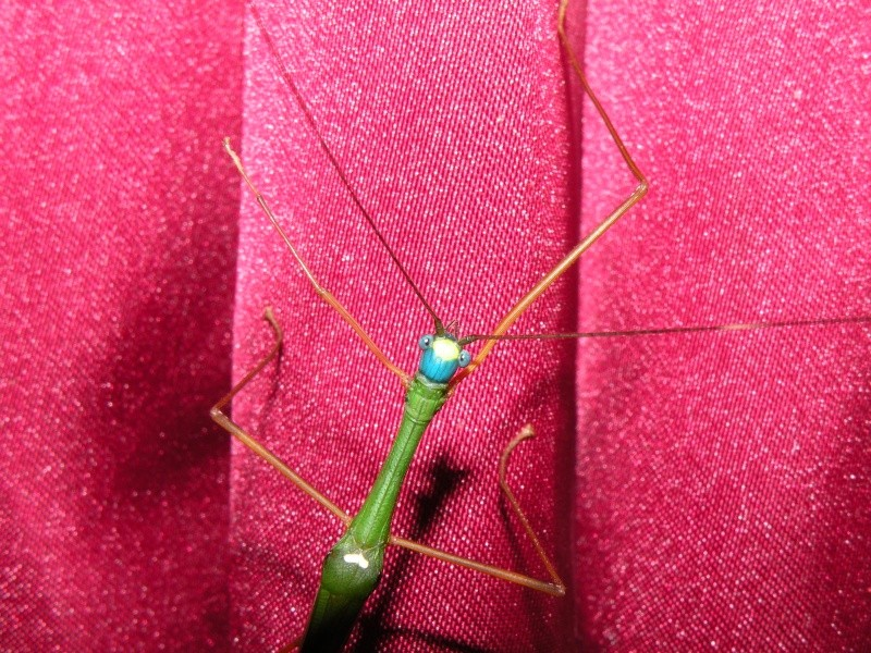 Marmessoidea rosea disponible, superbe espèce ! Dscn7211