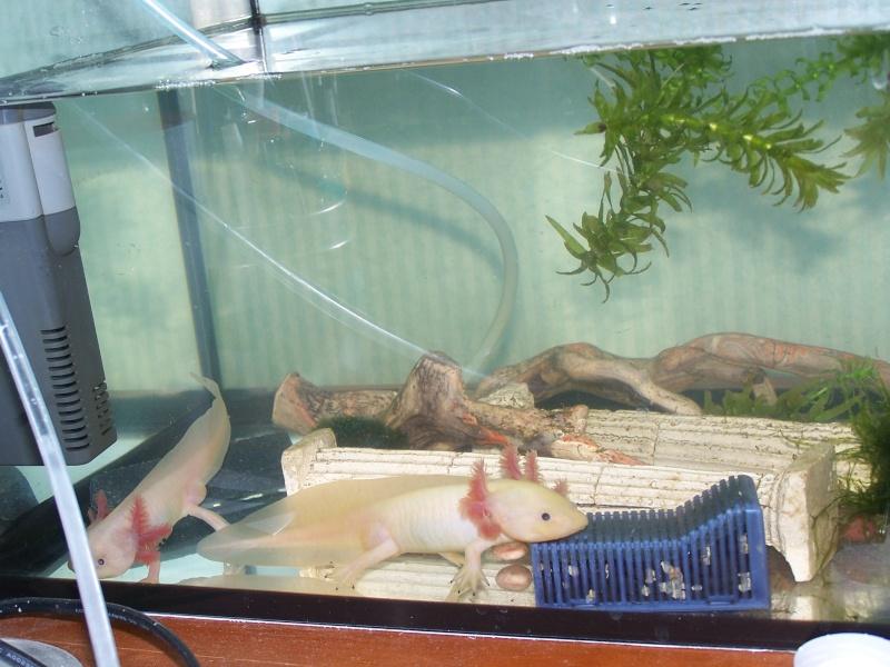 Mes Axolotl mais c'est quoi donc? 100_2013