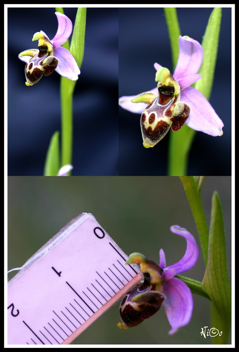 Ophrys picta Compil10