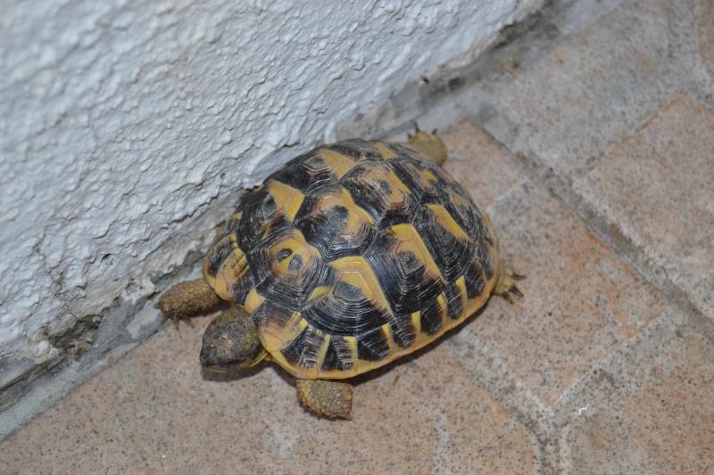 Ma tortue (pour le plaisir des critiques de Génia !!) Dsc_0612