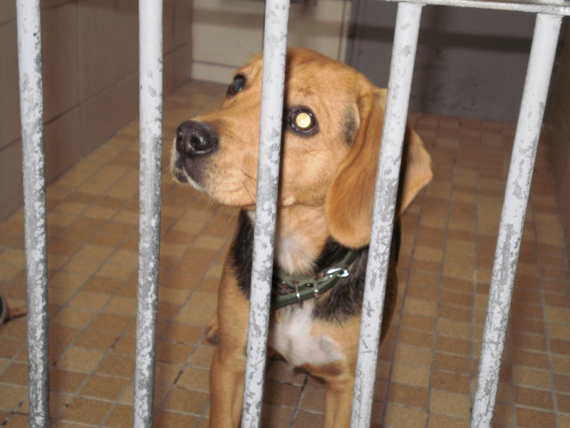 ENZA, croisée beagle femelle, 11 mois (62) 14410