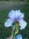 Mes iris  P0805111