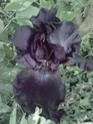 Mes iris  P1105110