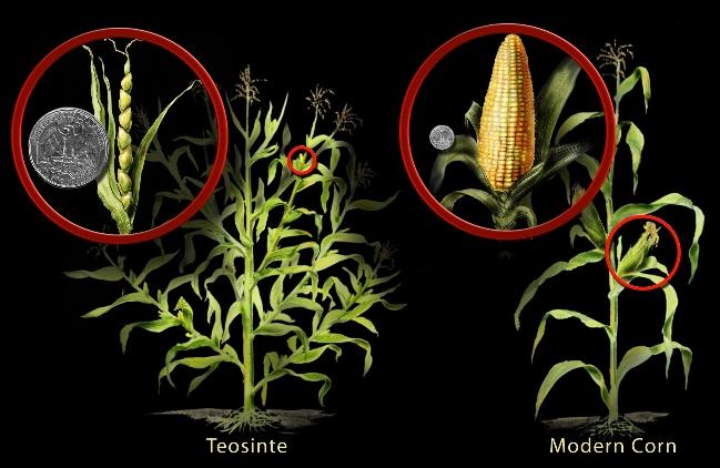 Les Jardiniers Extraterrestres. Corn-a10
