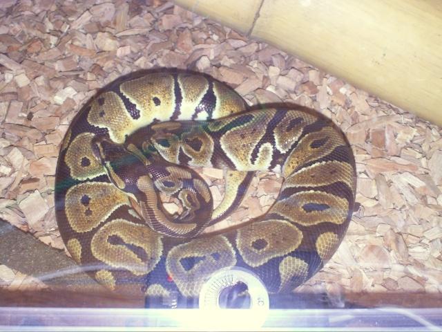 Reptiles poggo21 - Page 6 Pict0311