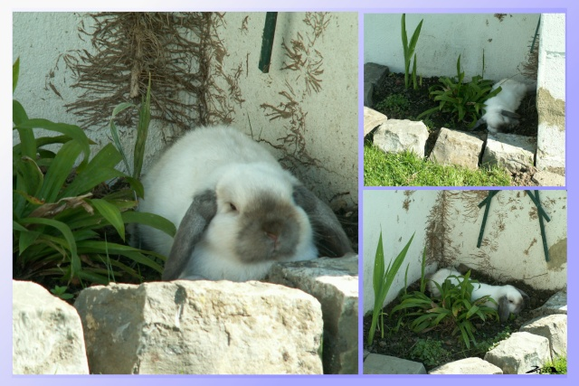 Nos lapins nains Bélier et les premiers bébés Diko1_10