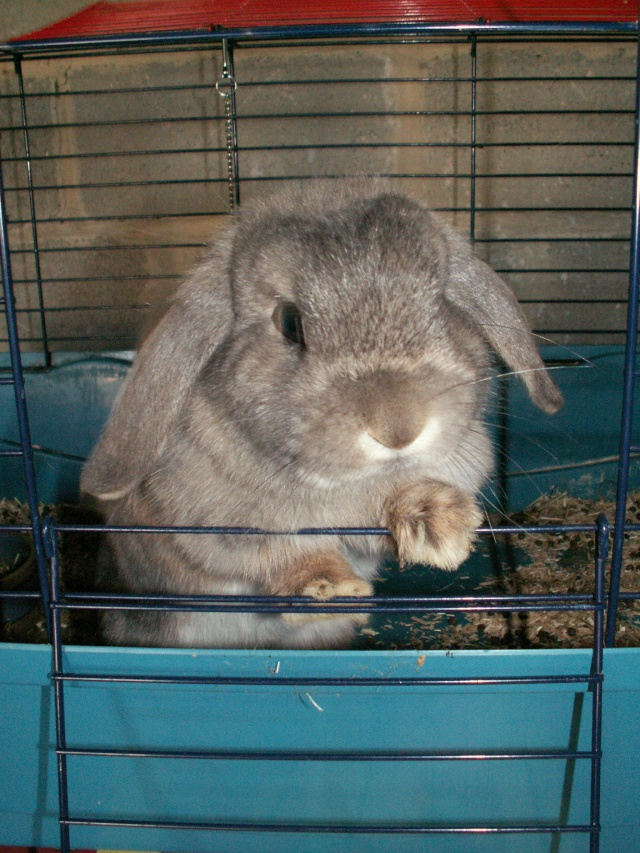 Nos lapins nains Bélier et les premiers bébés Find110
