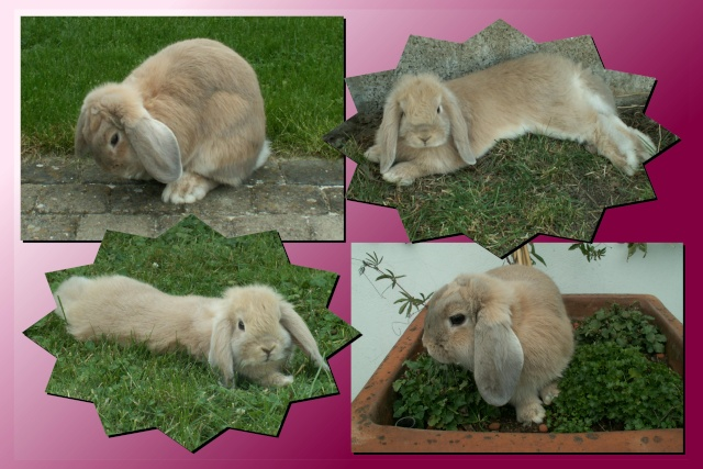 Nos lapins nains Bélier et les premiers bébés Lana210