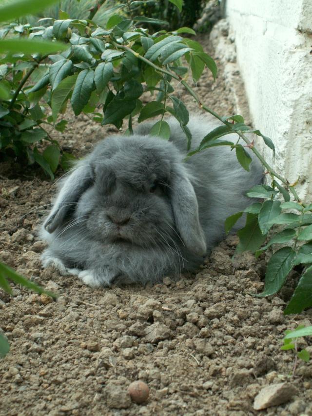 Nos lapins nains Bélier et les premiers bébés Pict0112