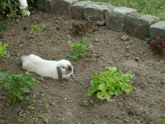 Nos lapins nains Bélier et les premiers bébés Pict0214