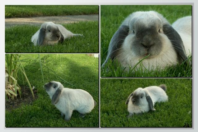 Nos lapins nains Bélier et les premiers bébés Simba_11