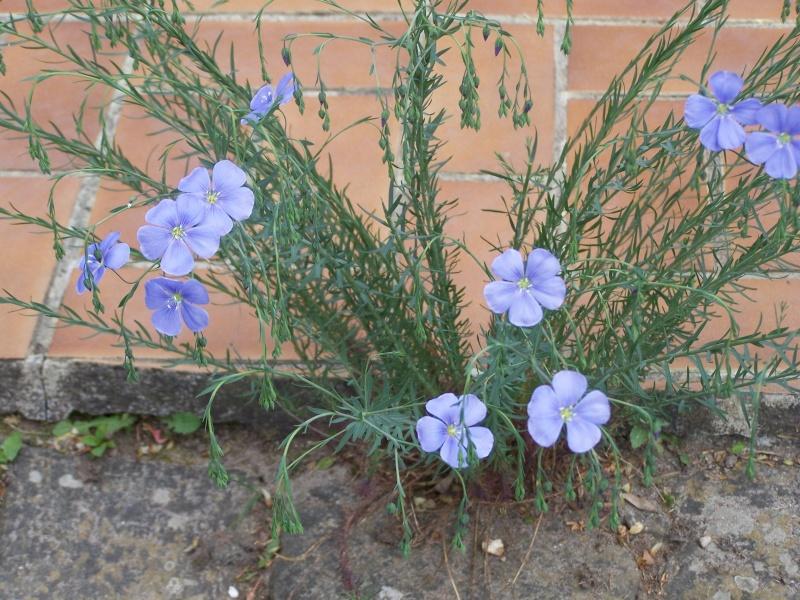 Lin bleu vivace 100_1312