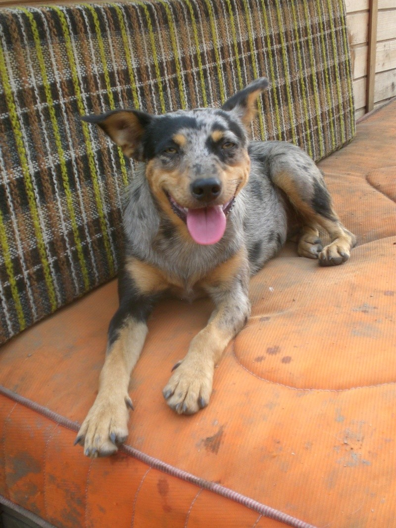 LUCY - Xberger australien/pinsher - puce : 941000012398470 -2 ans (35) Lucy10